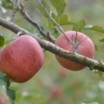 慰安旅行2011.11.リンゴ狩り